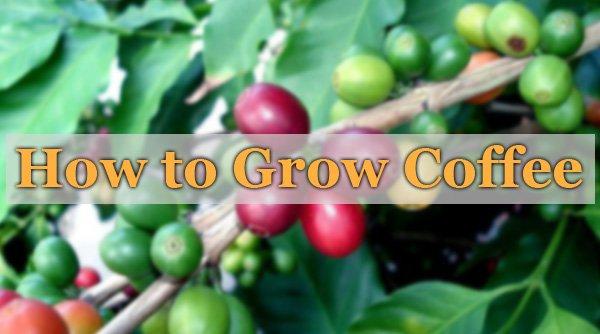 How to Grow Coffee
