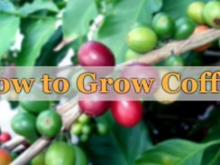 How to Grow Coffee